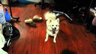 Pomeranian Mix American Eskimo Playing Crazily