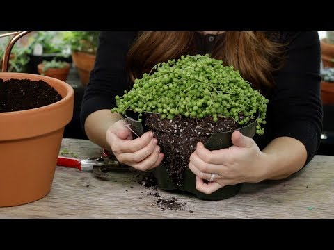 How and When to Repot Senecio String of Pearls