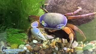 С какими рыбками и как можно содержать краба а аквариуме
