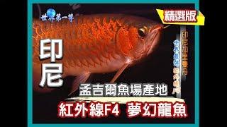 【印尼加里曼丹】孟吉爾 紅外線F4 夢幻紅龍魚|《世界第一等》60集_小馬精選版