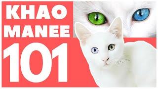 Khao Manee Cat 101 : Breed & Personality