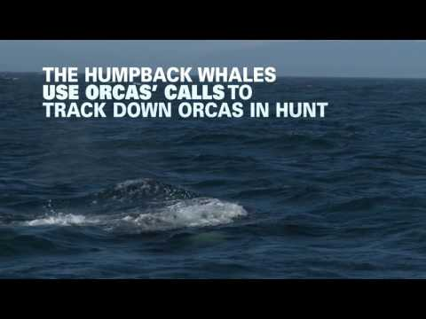 Why are humpbacks battling orcas?