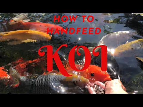 **HAND FEEDING** How To Tame  Koi And Eat From Your Hand At The Pond!