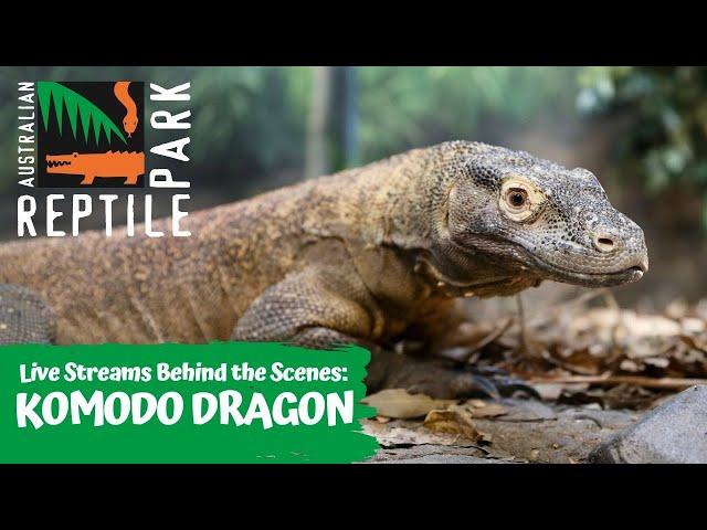 LIVE WITH KRAKEN THE KOMODO DRAGON   AUSTRALIAN REPTILE PARK