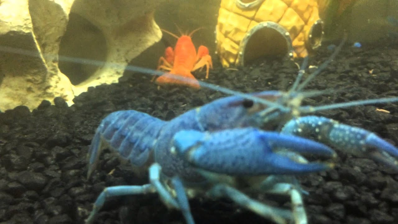 Fish tank in home place - Blue And Orange Crayfish In A Home Aquarium Blue One Molted Fish Tank Exotic Fish