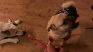 Poppy (pomeranian / Pug Cross) & Molly (blue Healer / Jack Russell Cross) Vs. Peanut Butter