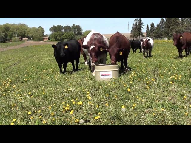 Cattle Utilizing SmartLic Supplements #2