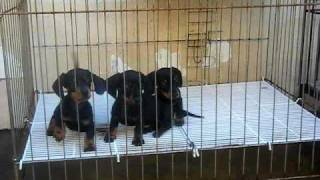 Mini-dachshund Puppies By Foursquare Kennel