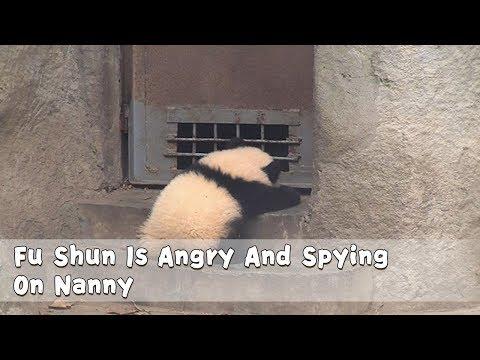 Fu Shun Is Angry And Spying On Nanny | iPanda
