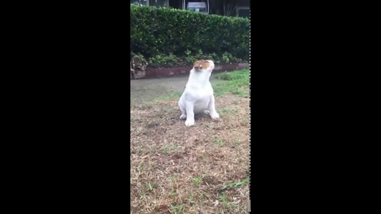 English Bulldog Puppys Reaction To Seeing Rain For The Very First - Seeing tiny puppies trying to walk for the first time will melt your heart