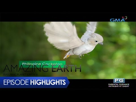 Amazing Earth: The voice of the Philippine Cockatoo - 동영상
