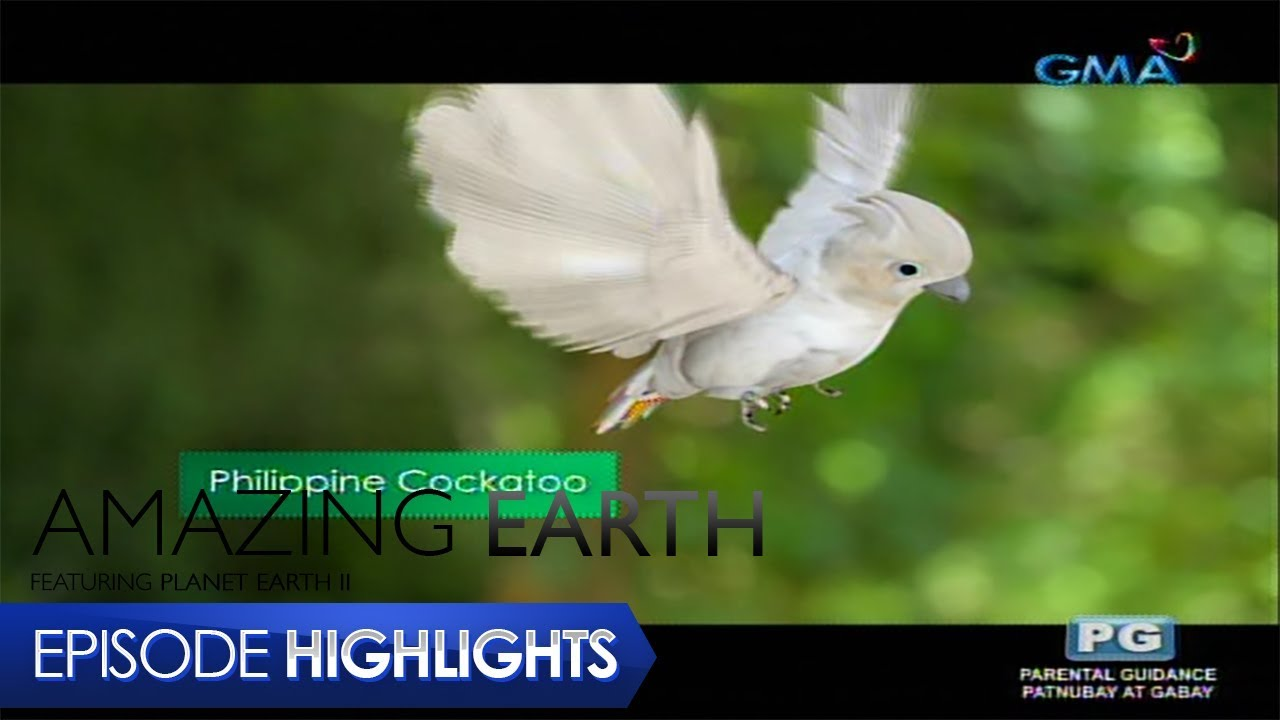Amazing Earth: The voice of the Philippine Cockatoo