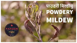 पाउडरी मिल्डीयु ( Powdery Mildew ) | Archive for category: #APPLE_PEST