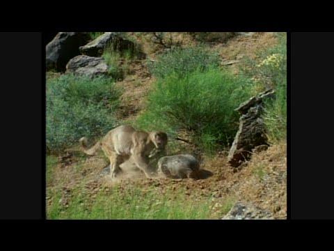 American Badger Vs Cougar