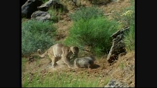 American Badger Vs Cougar