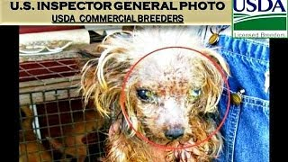 DATELINE: PET STORES & AKC EXPOSED!  America's Epidemic Consumption of PUPPY MILL CRUELTY PETS(, 2013-11-01T08:16:23.000Z)