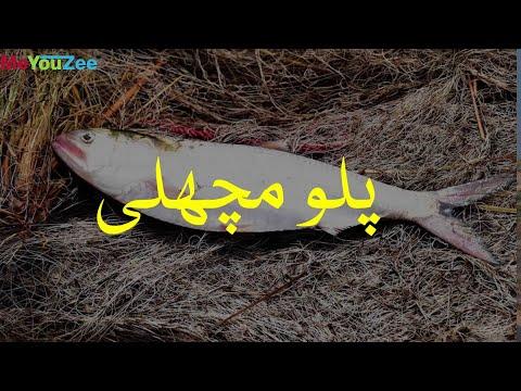 Sindh's Famous Fish: Palo