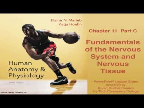 Anatomy Physiology Chapter 11 Part C Nervous System And