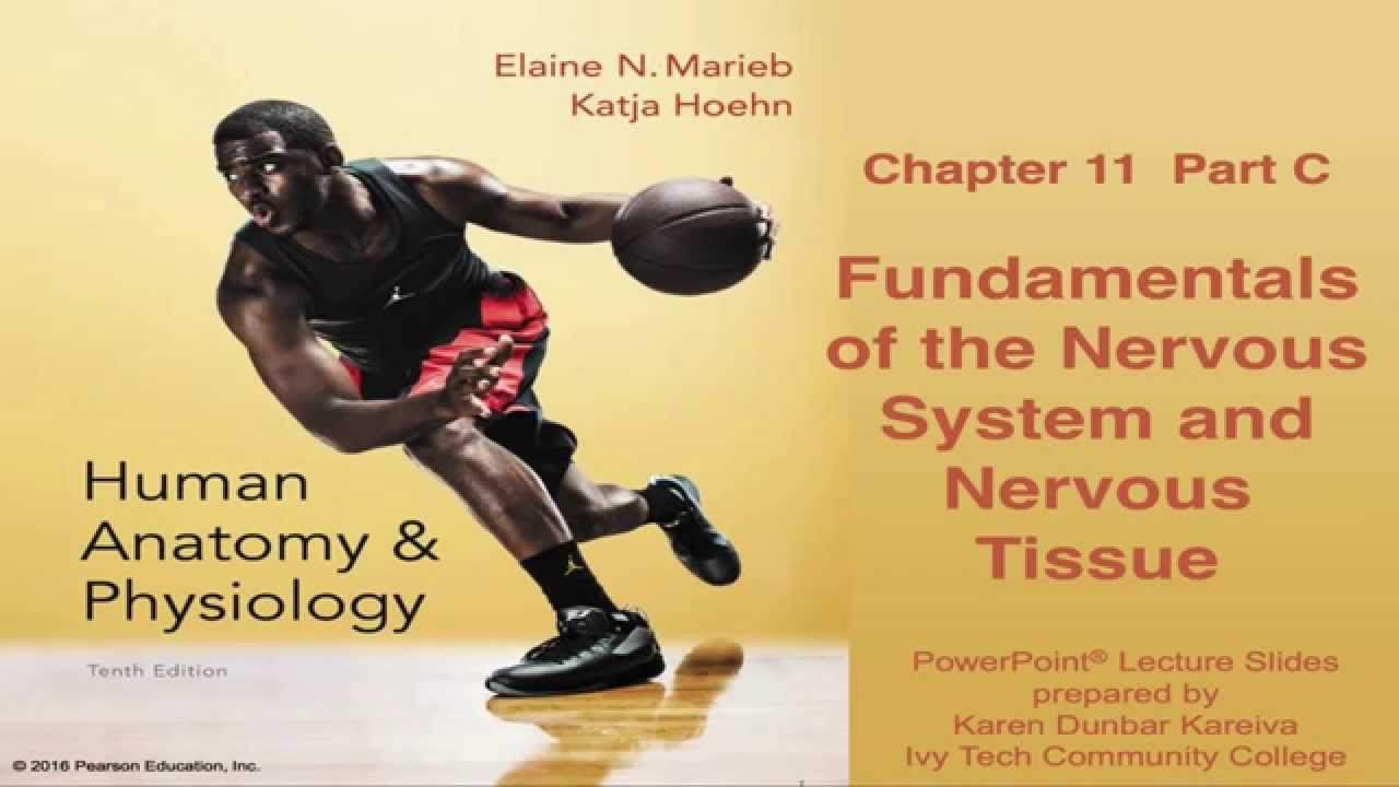 Anatomy & Physiology Chapter 11 Part C: Nervous System and Nervous ...