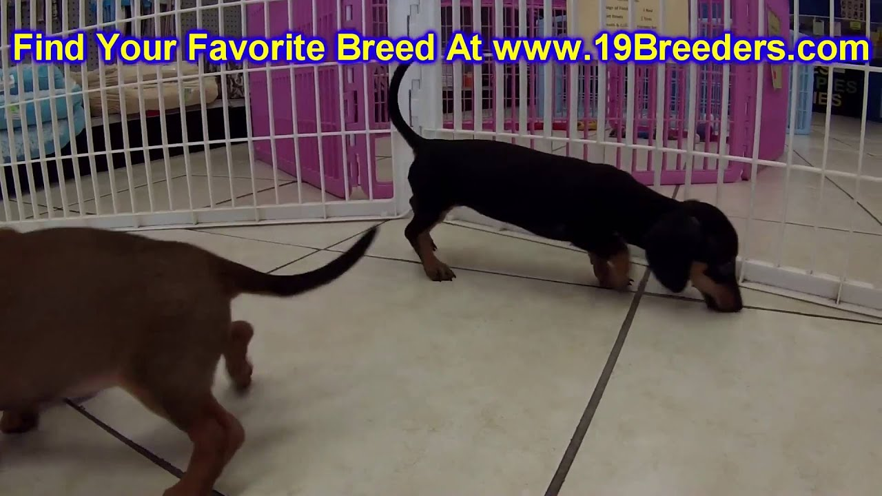 Miniature Dachshund Puppies Dogs For Sale In Nashville