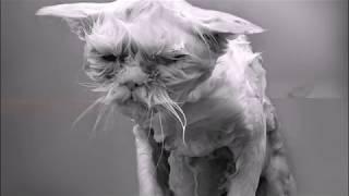 Почему коты боятся воды?  Интересные факты о кошках  Тайны о кошках