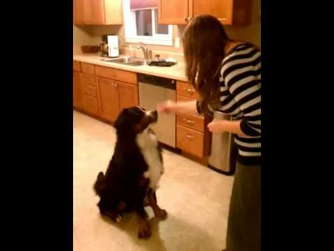 """Snickers"" the Bernese Mountain Dog will work for food."