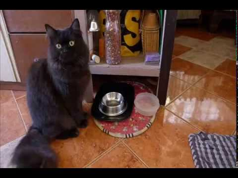 Rumble (our cat) asks for food by ringing his bell