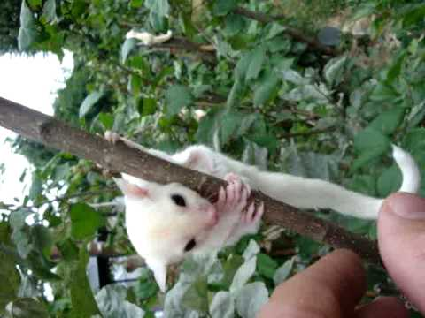 Baby Movie- Joey White Sugar Gliders - Leucistic and 100% Leucistic from outbackgliders.com