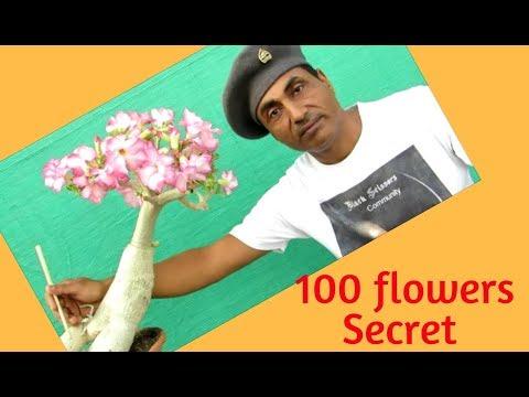 100 Flowers on one Adenium/ Blooming Atom Bomb Tips