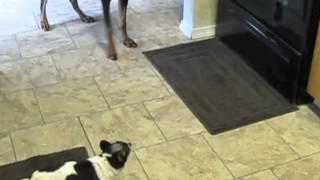 Toy Fox Terrier Terrorizes Doberman Pinscher