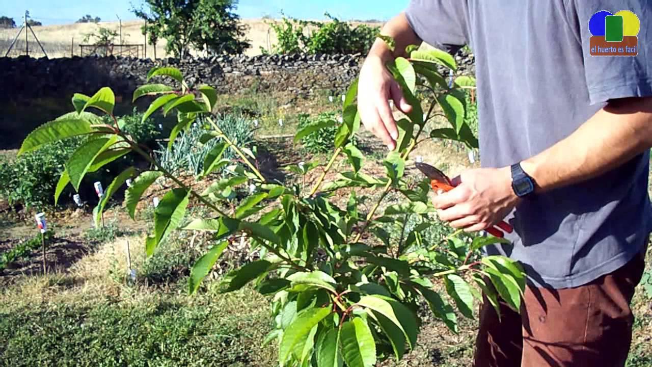 Poda del cerezo poda de formaci n iii youtube - Poda del cerezo joven ...