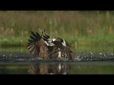 Inverness shire osprey filmed fishing for trout   BBC News
