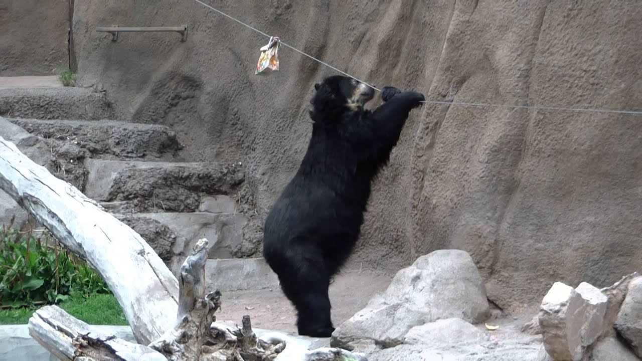 bear at the cheyenne mountain zoo in colorado springs co youtube. Black Bedroom Furniture Sets. Home Design Ideas