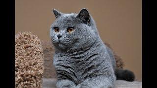 Mèo Anh lông ngắn màu xanh xám cực dễ thương.