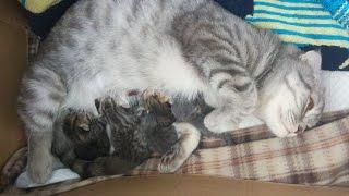 TheReal MomCat в деле! Шотландские котята онлайн | kittens online