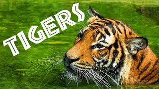 Tigers for Kids: Learn All About Tigers - FreeSchool(Tigers have been voted the world's favorite animal. The largest species of feline on earth, these black and orange striped big cats are amazing hunters., 2015-06-19T00:45:36.000Z)