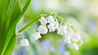№7. Ландыш / Lily of the Valley