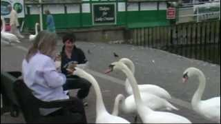 Hand Feeding Swans on Lake Windermere, Lake District, England