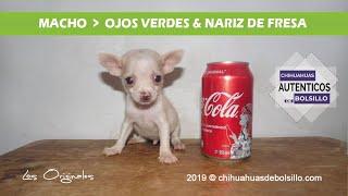 Chihuahua Mini Toy Blanco Disponible / Видео