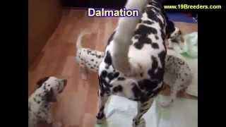 Dalmation, Puppies,for,sale, In,orlando Florida, Fl, Deltona,melbourne,palm Coast,