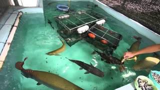 15t コンクリート水槽☆大型魚ピラルク!