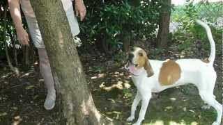 Treeing Walker Mix Puppy Trees A Squirrel