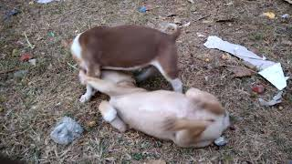 The two fighting puppies.