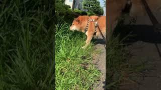 最近サラダバーにハマっている柴犬