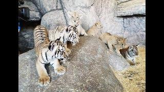 Aslan Park'ta 4 aslan ve 3 kaplan yavrusu dünyaya geldi