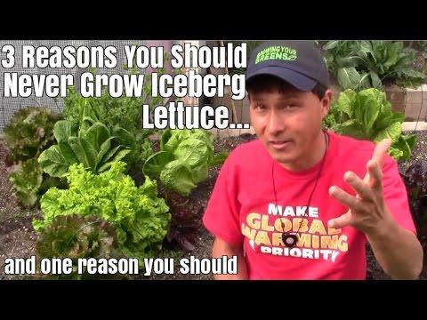 3 Reasons You Should Never Grow Iceberg Lettuce