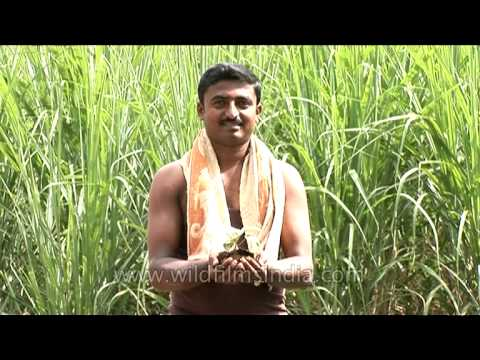 For the love of farming - Farmer holds plant sapling in his hands, Karnataka