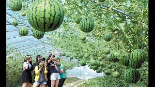 World's best watermelon production factory - Modern watermelon production.