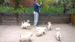 West Highland White Terriers (  Silverbug Serbia)