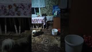 Пикинесы гоняют кошку